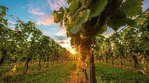 vineyard_sunset