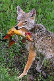 salmon - coyotes