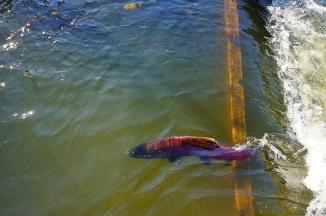 salmon - nimbus 1