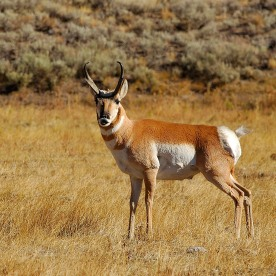 Pronghorn Male, Lamar Valley, Yellowstone National Park, Wyoming