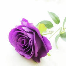 purple roase