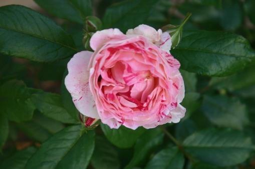 Roses 4-23-18 (2)
