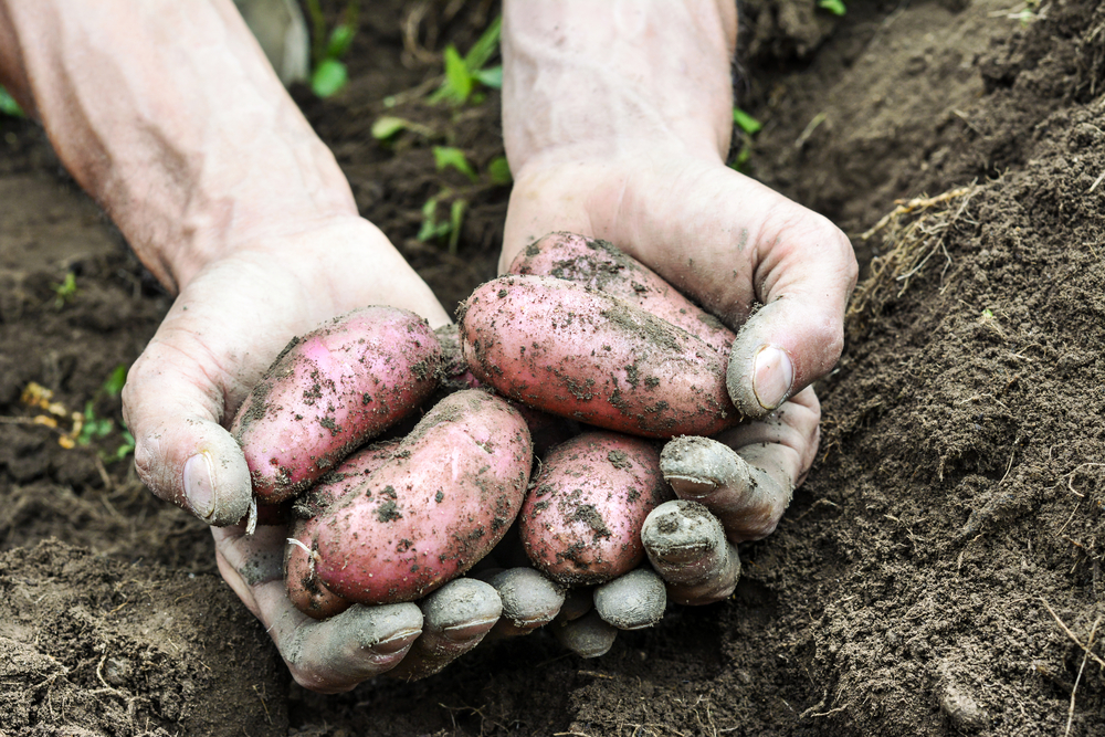 It's National Tater Day – Can you DigIt?