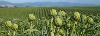 artichoke castroville