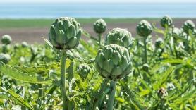 artichoke thistle plant2