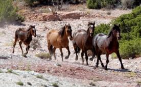 Montana wild horses