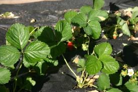 04-22 Spring Garden Strawberries (5)