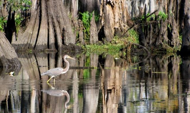 Louisiana or Tri-Colored Heron