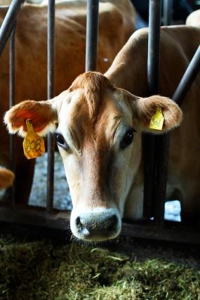 12 Tillamook Cows (1)