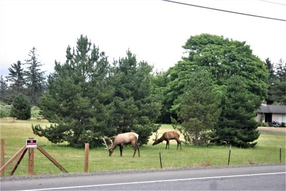6 - Elk on Hwy 101