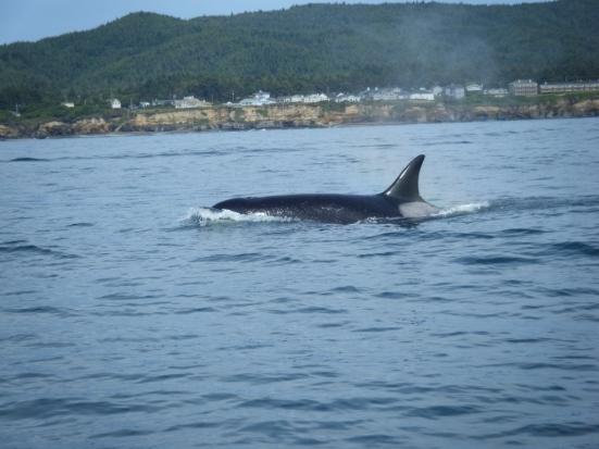 1 Orca in Depoe Bay