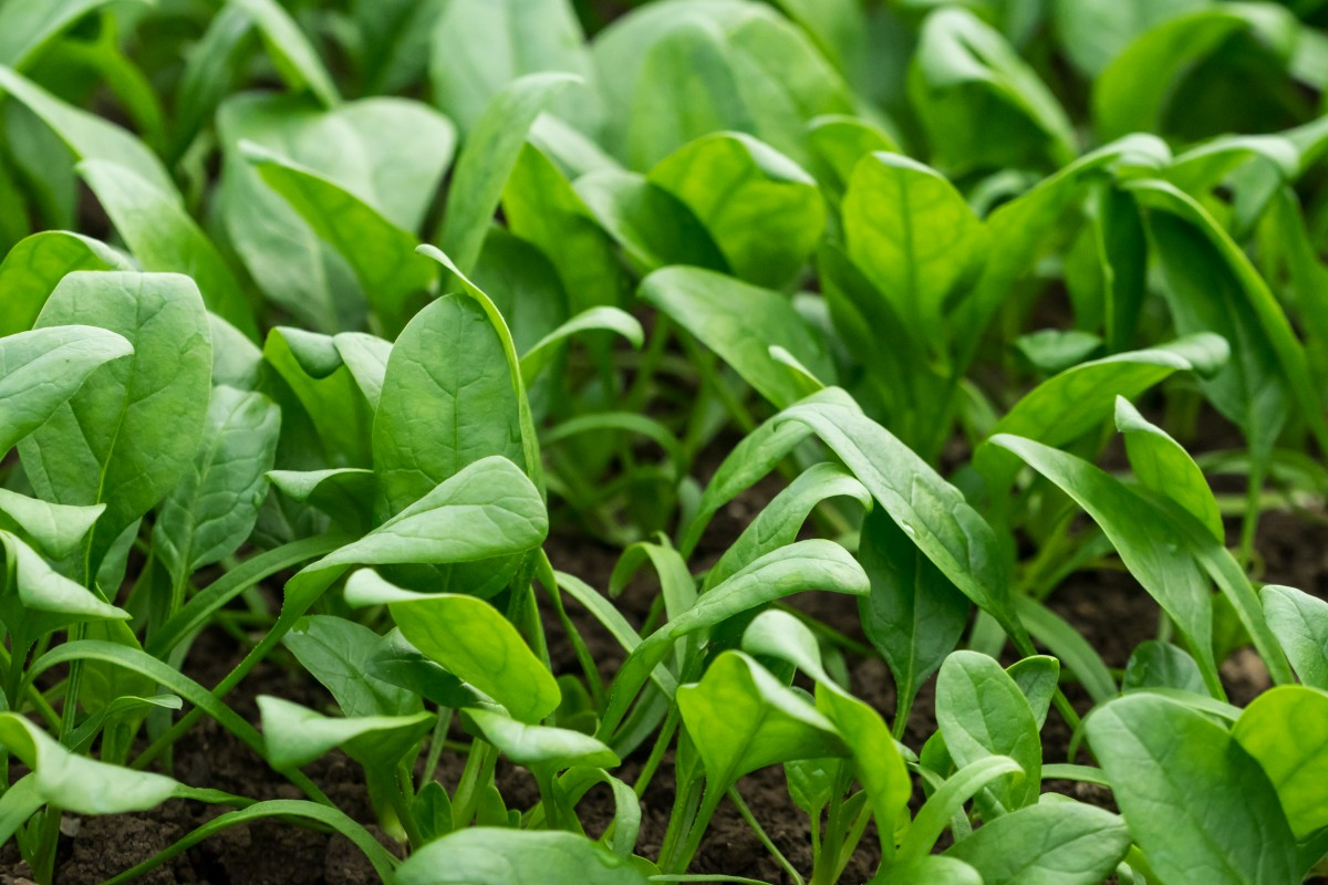 National Spinach Day and the 6th Friday ofLent