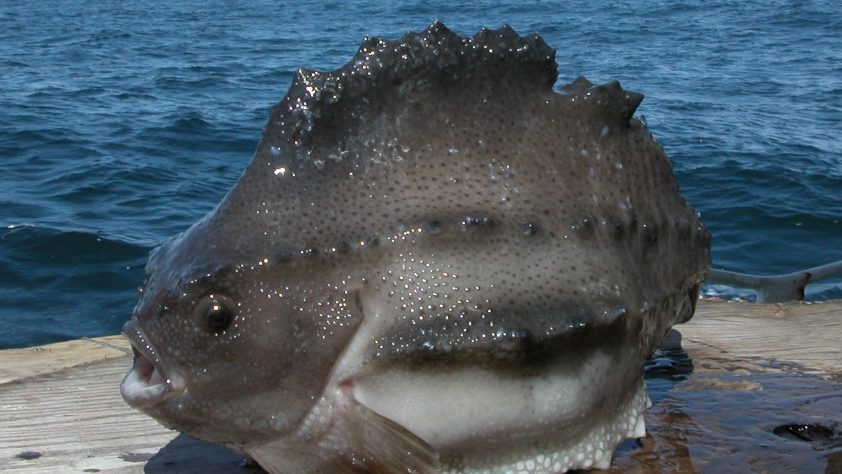 Lumpfish – A Face Only a Mother CouldLove